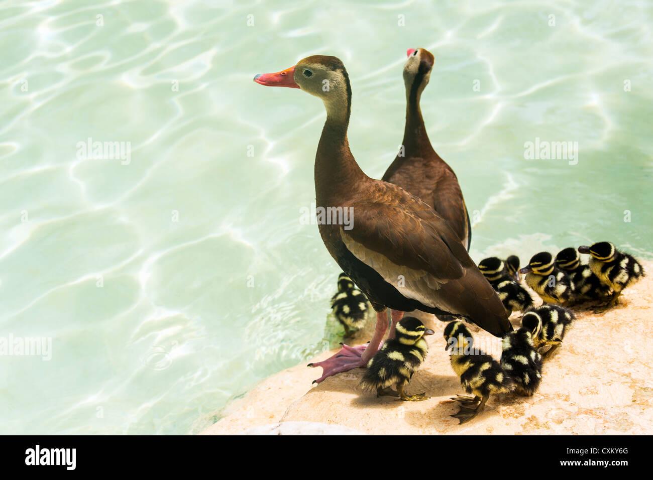 Bianco-winged sibilo duck Immagini Stock