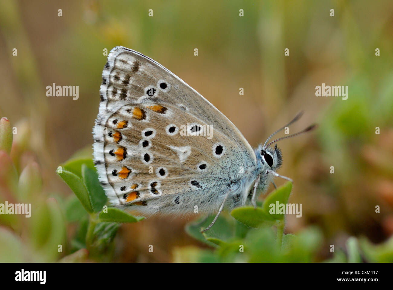 Adone maschio Blue Butterfly (Polyommatus bellargus) nei Pirenei Immagini Stock