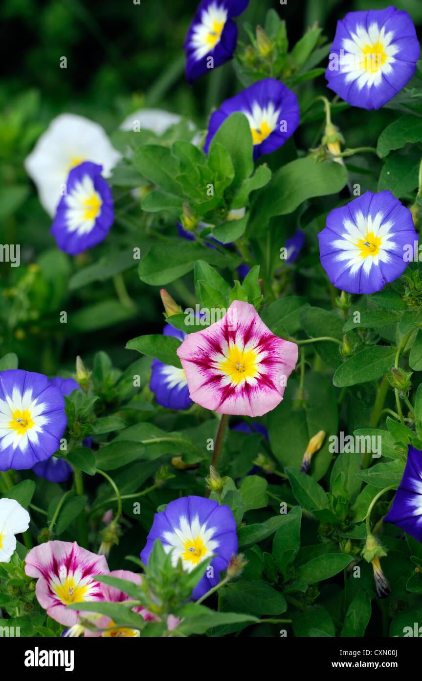 Variopinti colori luminosi gloria di mattina centinodia colore giallo blu bianco vitigno annuale del superriduttore Immagini Stock