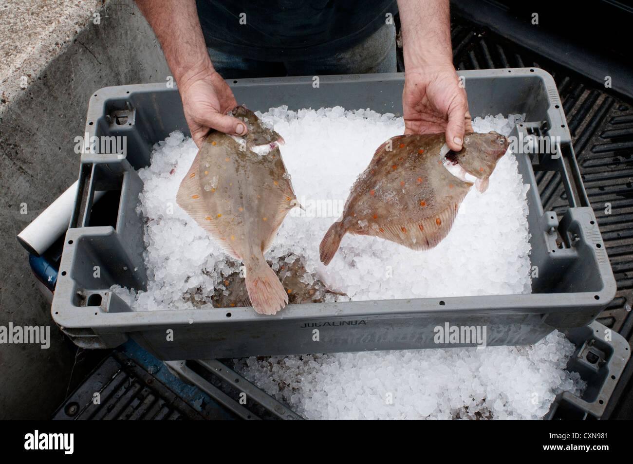 Sogliola di Dover, pesce nelle mani di un pescatore, REGNO UNITO Immagini Stock