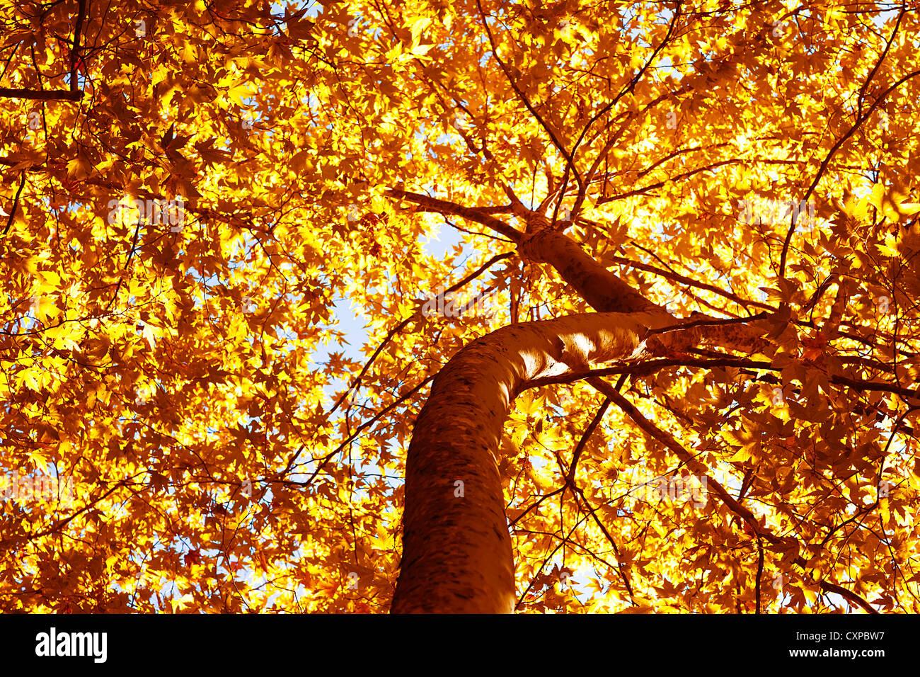 Immagine della bellissima autumn tree, secco fogliame giallo sul vecchio tronco di albero, abstract foglie d'oro Immagini Stock