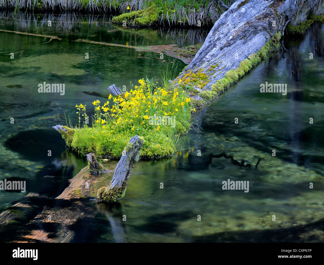 Monkey fiori che crescono sul log in silenziosa creek, Oregon fiori selvatici,streamside,spring creek Immagini Stock