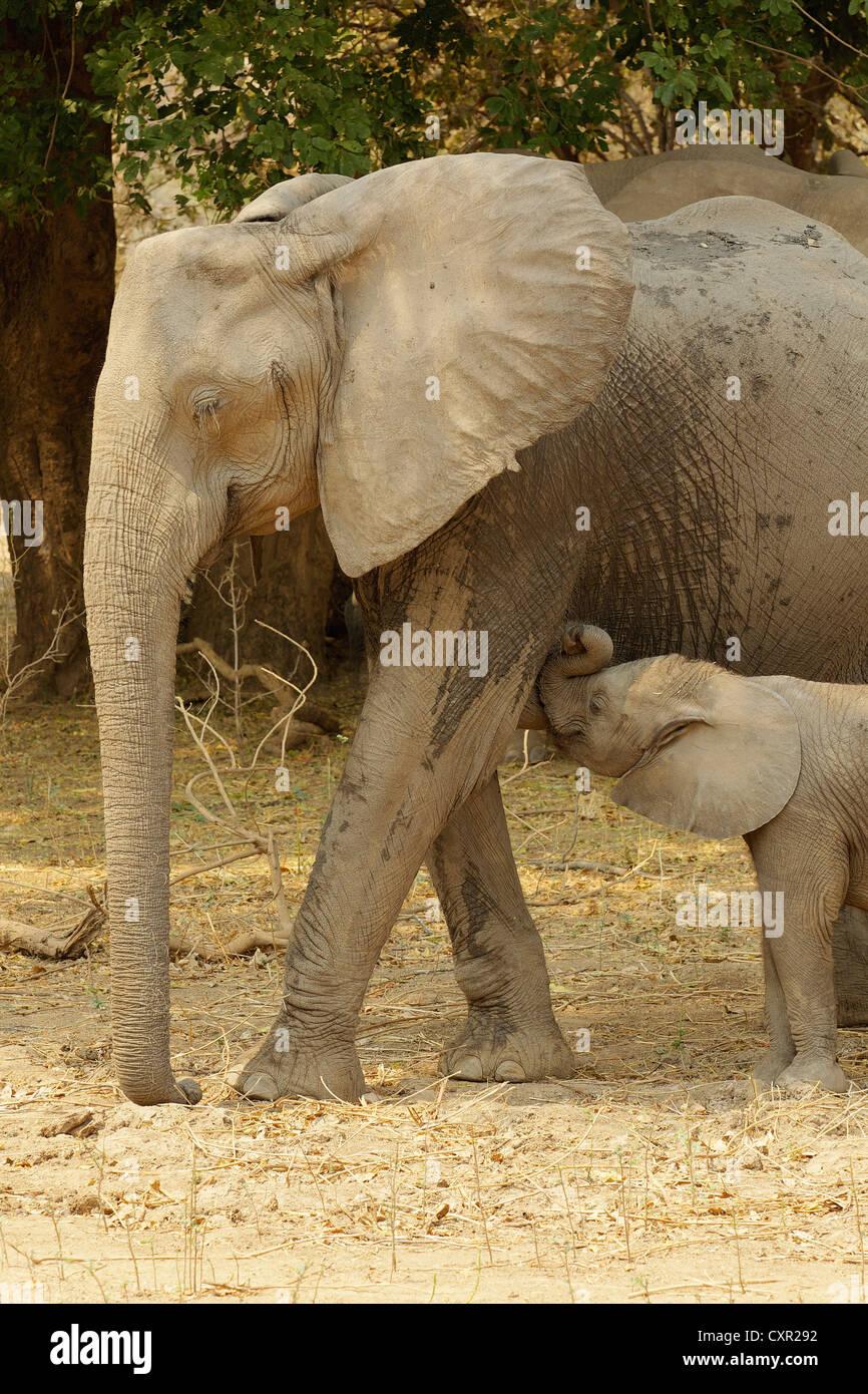 Elefante africano con vitello lattante, Mana Pools, Zimbabwe Immagini Stock