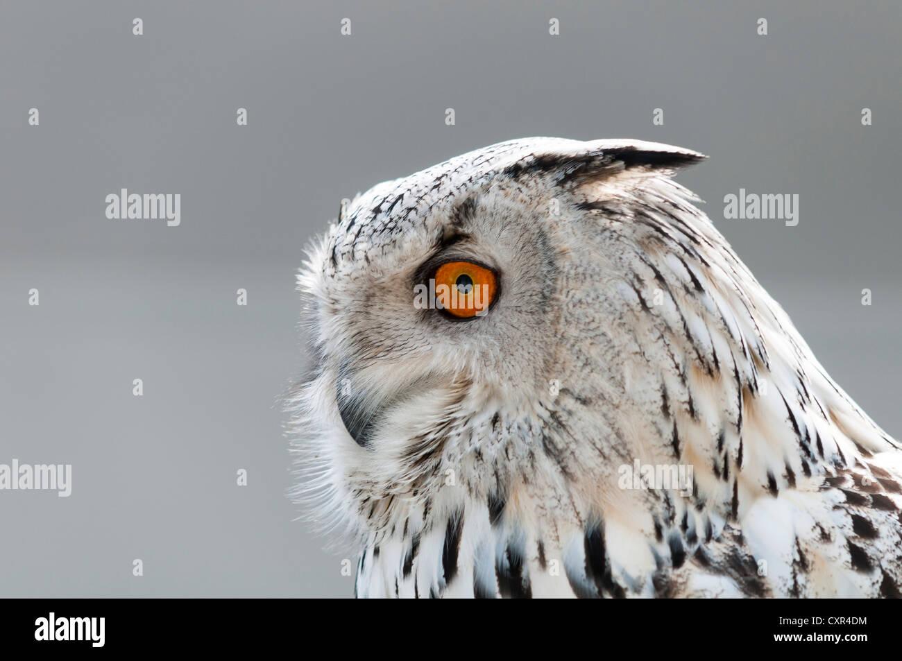 Civetta delle nevi (Nyctea scandiaca), Foto-Siegel mostra fotografica, Erfurt, Turingia, Germania, Europa Immagini Stock