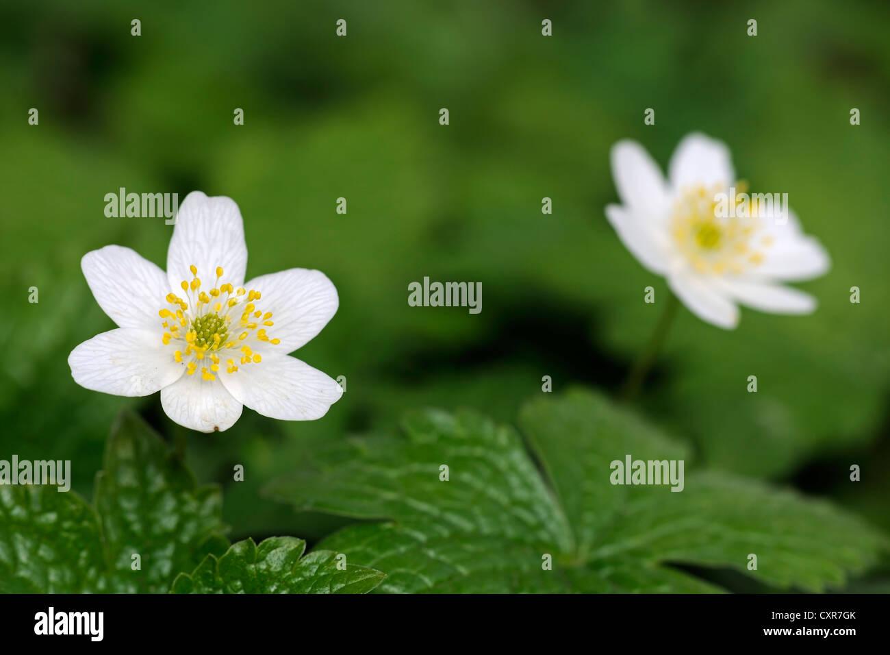Legno Anemone, Thimbleweed o odore Fox (Anemone nemorosa ,), Berlino, Germania, Europa Immagini Stock