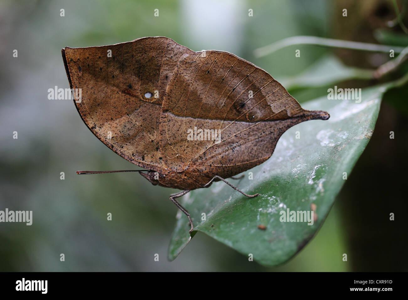 Foglia indiano butterfly (Kallima paralekta), Isola di Mainau, Baden-Wuerttemberg, Germania, Europa Immagini Stock
