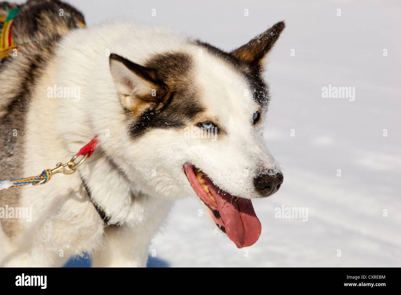 Sled Dog, cane piombo, Alaskan Husky, ansimando, congelati Yukon River, Yukon Territory, Canada Immagini Stock