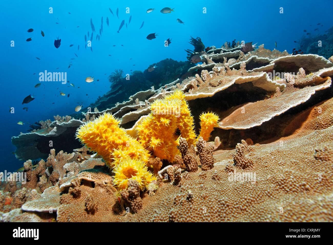 Paesaggio subacqueo, Reef, non identificato la spugna gialla (Poriferi), pietra coralli e pesci, della Grande Barriera Immagini Stock