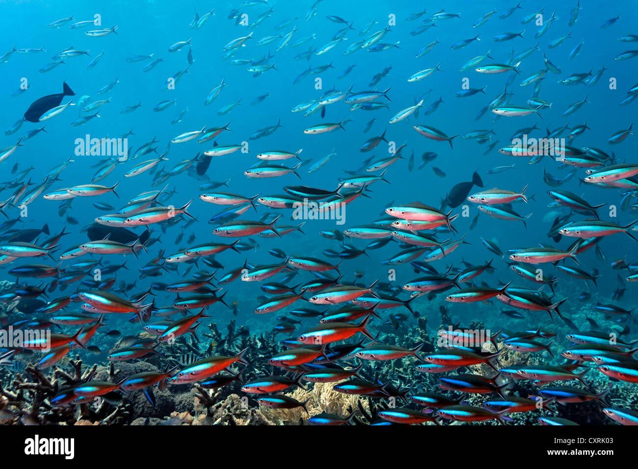 Secca di dark-nastrare fusiliers (Pterocaesio tile), nuoto su una scogliera di corallo, della Grande Barriera Corallina, Immagini Stock