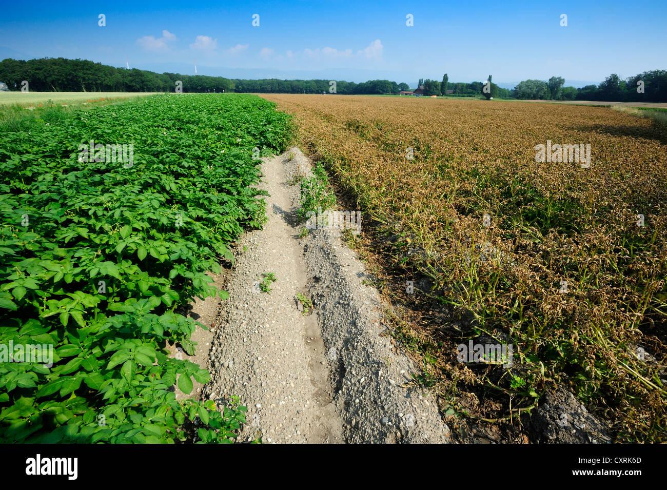 Un campo di patate di essere preparati per il raccolto. A destra sono stati spruzzati con il fogliame prima della Immagini Stock