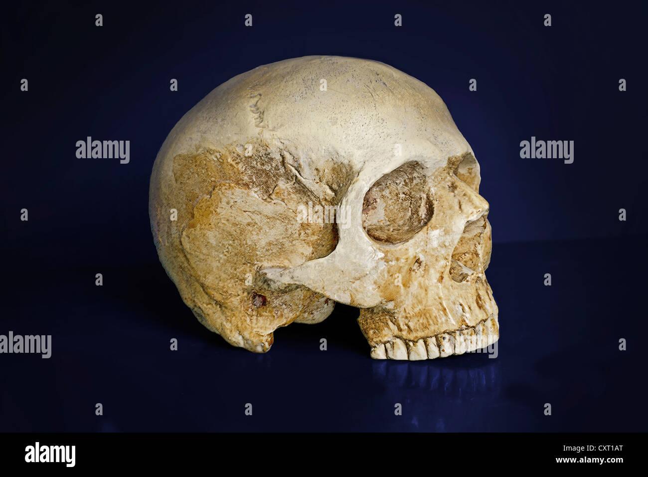 Cranio umano, Homo sapiens Foto Stock