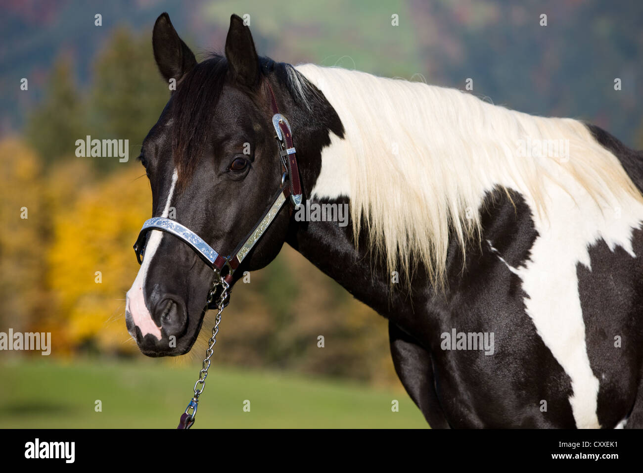 Paint Horse Stallone In Bianco E Nero Tobiano Spotted