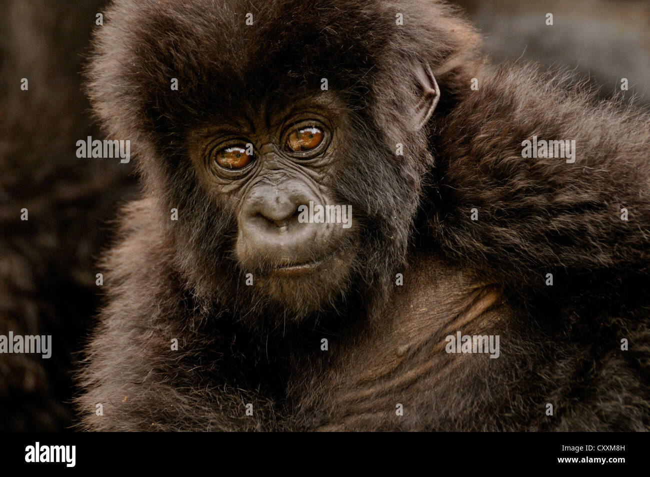 Baby Gorilla di Montagna (Gorilla beringei beringei) dal gruppo Hirwa ai piedi del vulcano Gahinga Immagini Stock