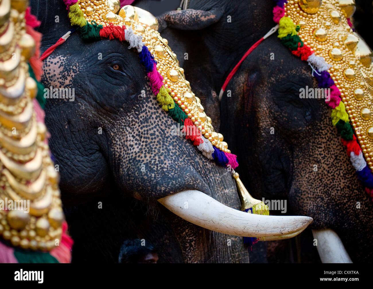 Close Up di elefanti decorati con zanne durante una parata a Jagannath Tempio Festival, Thalassery, India Immagini Stock