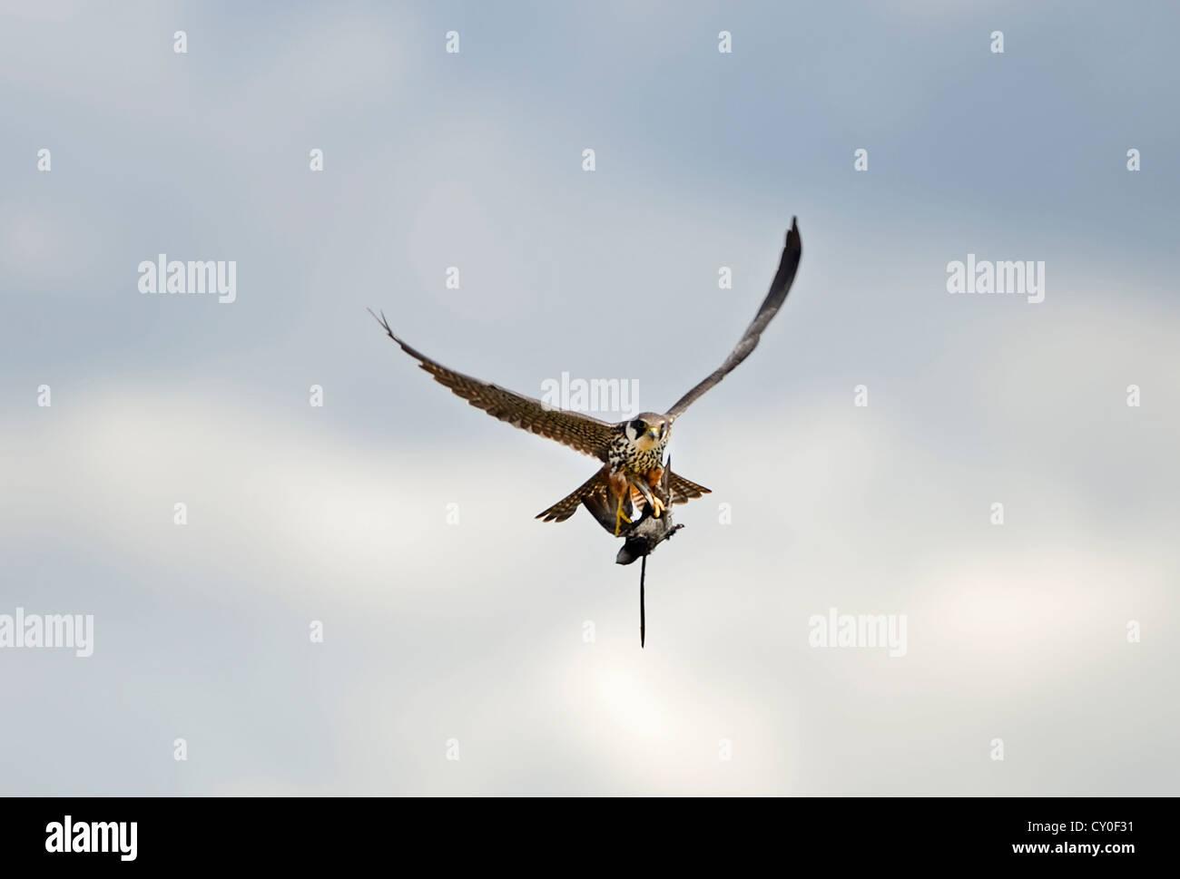 Hobby Falco Subbuteo® con Swift Apus apus catturate oltre reedbed Norfolk può Immagini Stock
