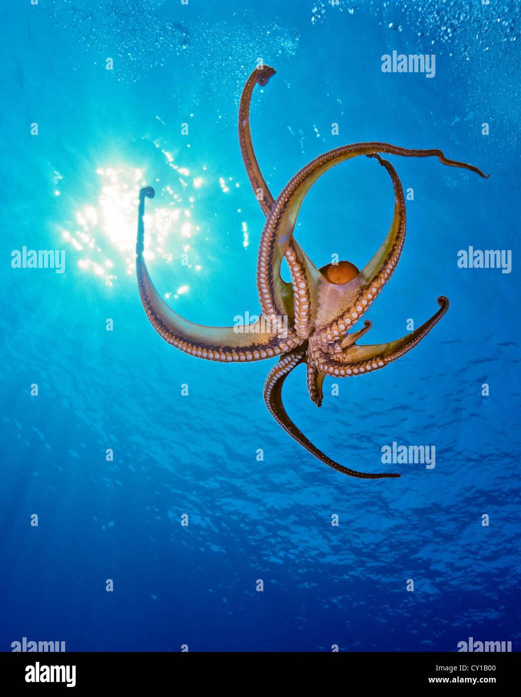 Giorno di polpo, Octopus cyanea, Big Island, Hawaii, STATI UNITI D'AMERICA Immagini Stock