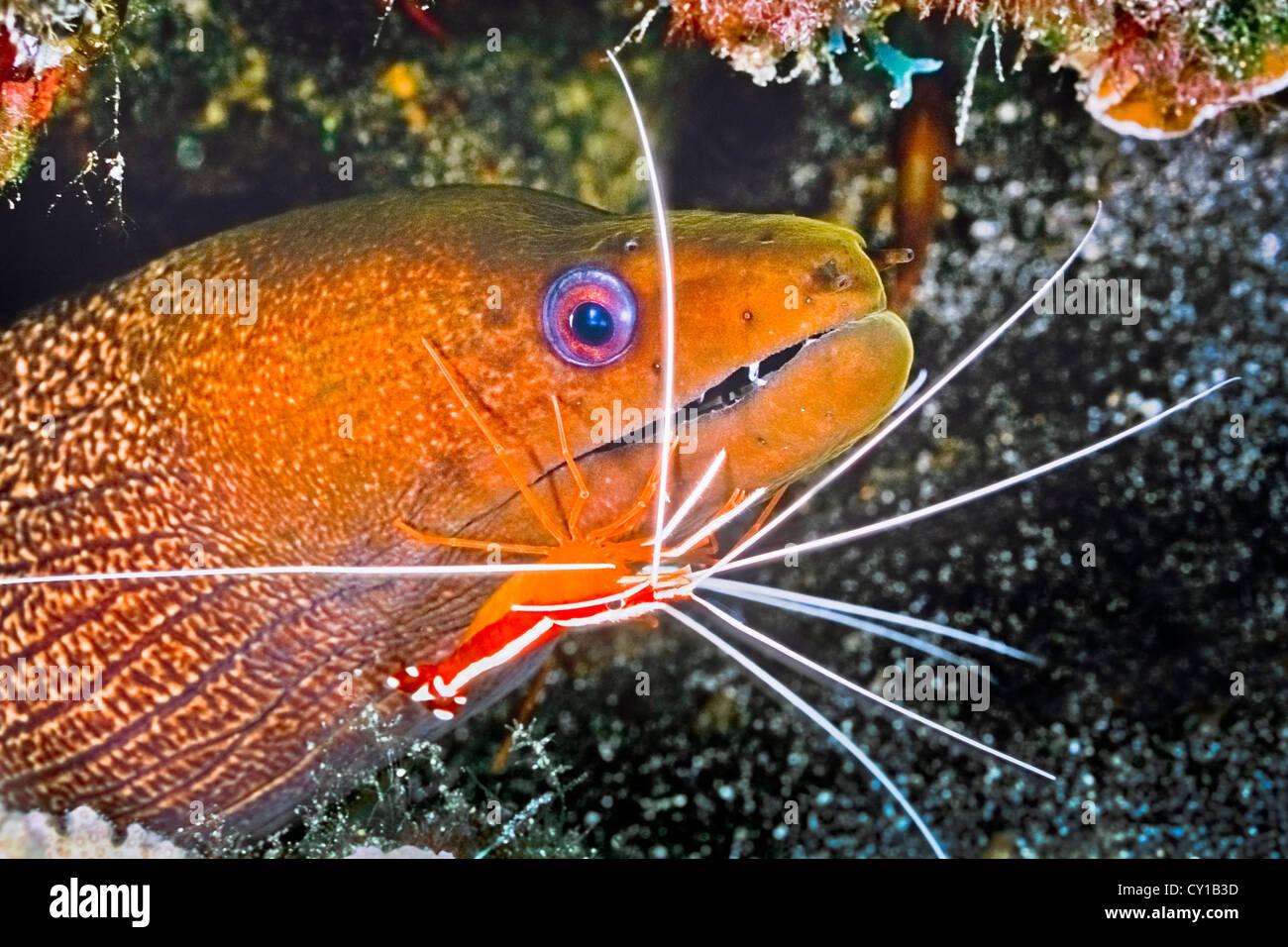 Ondulati moray eel puliti da Scarlet Cleaner gamberetti, Gymnothorax undulatus, Lysmata amboinensis, Big Island, Immagini Stock