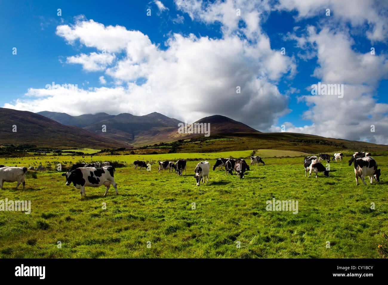 Bestiame bovino di caseificio , il Macgillycuddy Reeks , Co. Kerry Immagini Stock