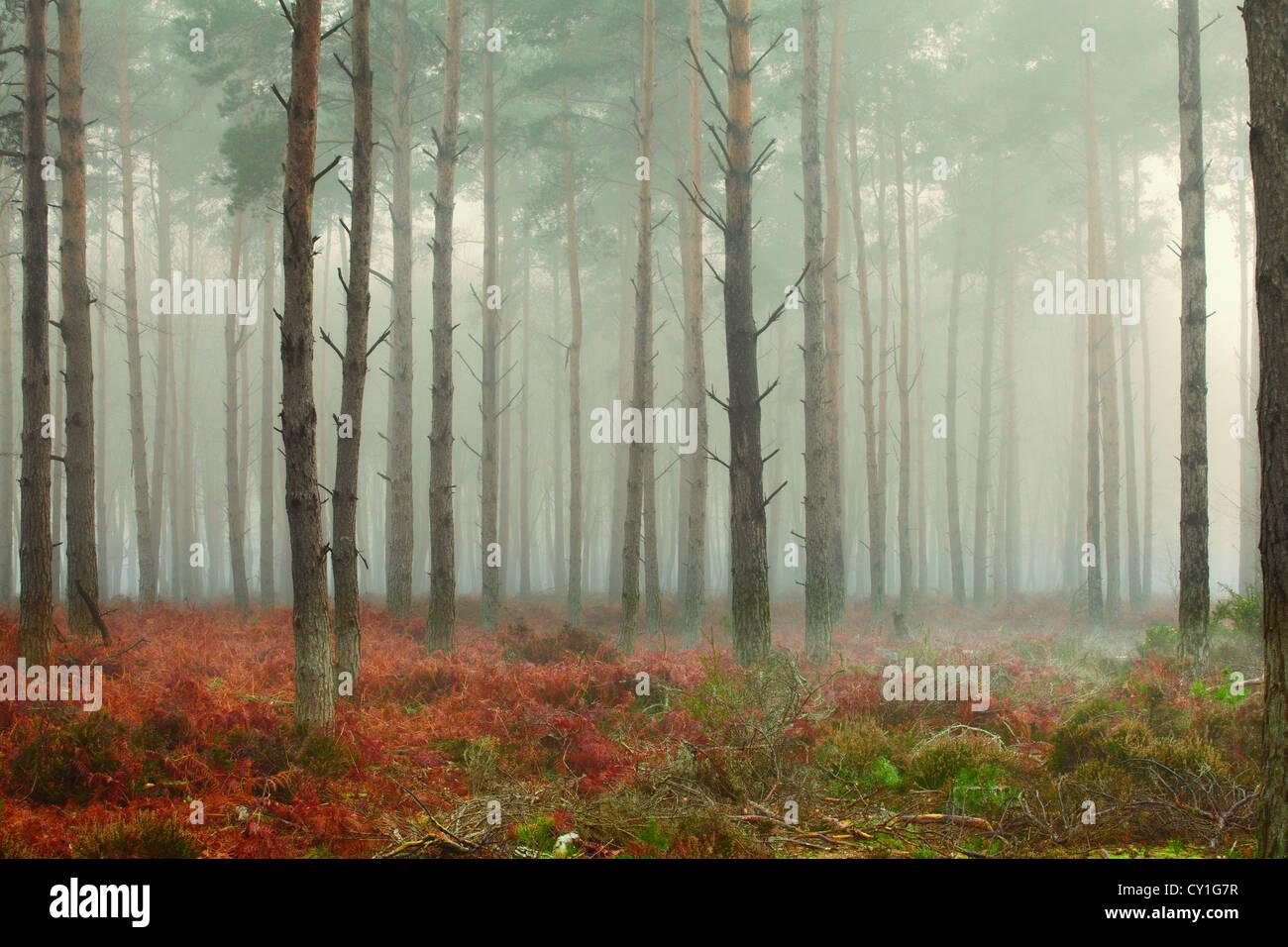 Alberi di pino nella nebbia all'alba Immagini Stock