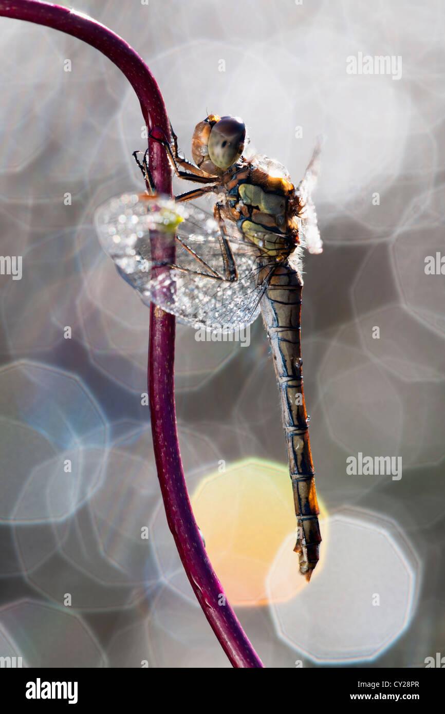 Common darter dragonfly contro uno sfondo di luci Immagini Stock