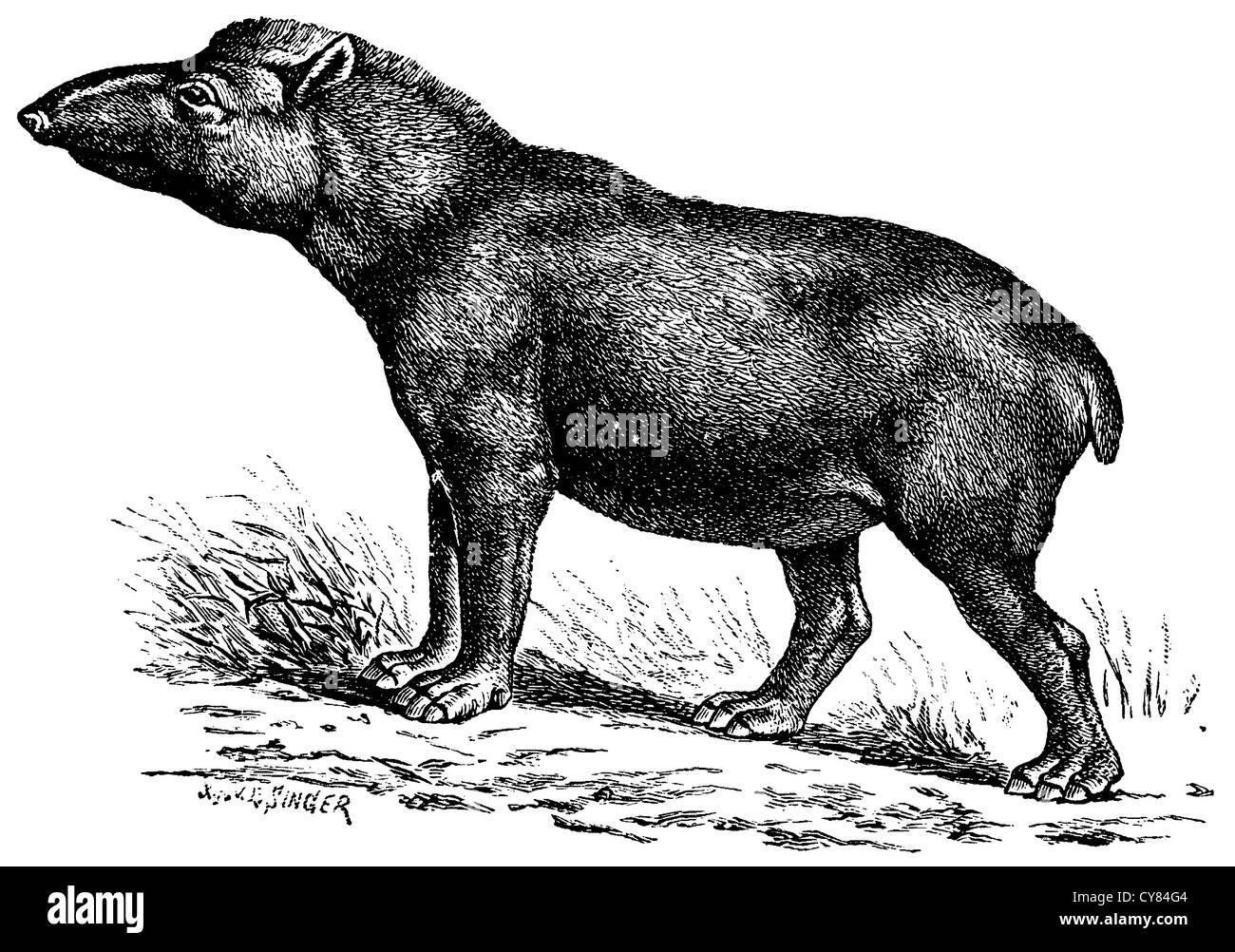 Tapiro americano Immagini Stock