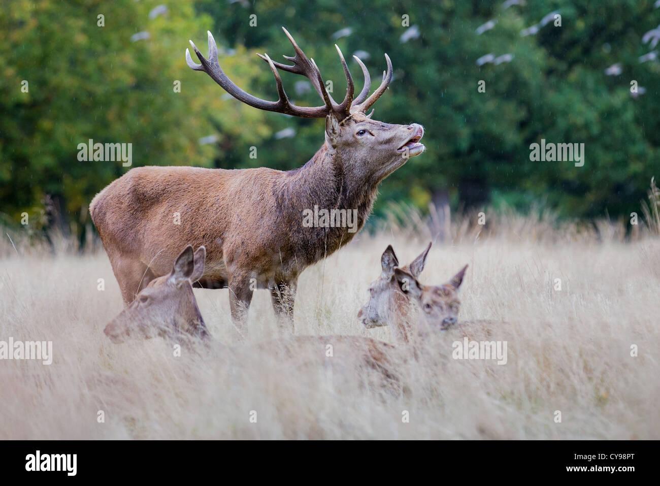 Red Deer cervo (Cervus elaphus) muggito sotto la pioggia durante la stagione di solchi, Richmond, Inghilterra Immagini Stock