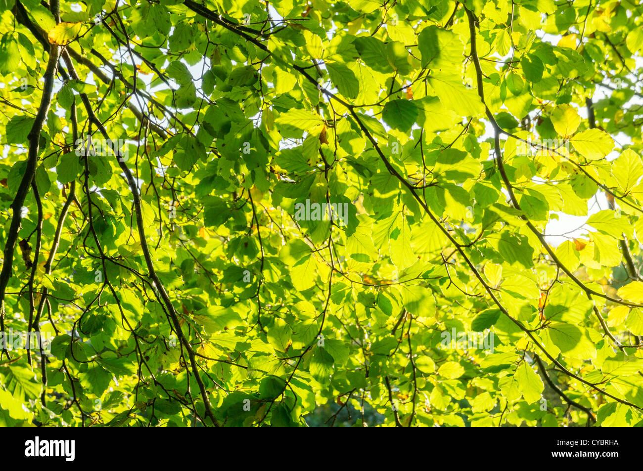 La luce del sole che splende attraverso foglie su un albero alberi Immagini Stock