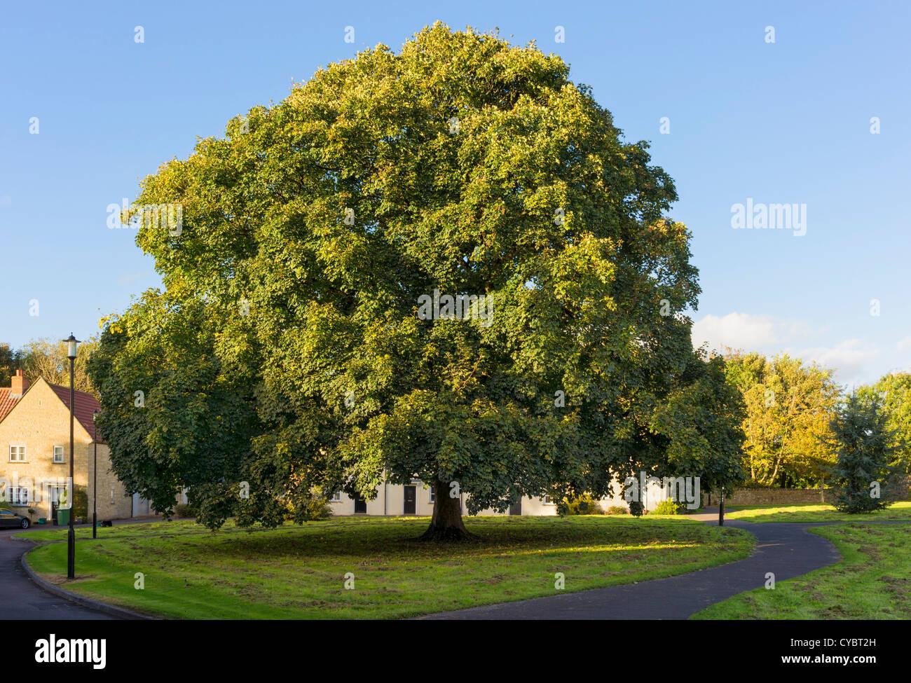 Albero di quercia, UK Immagini Stock