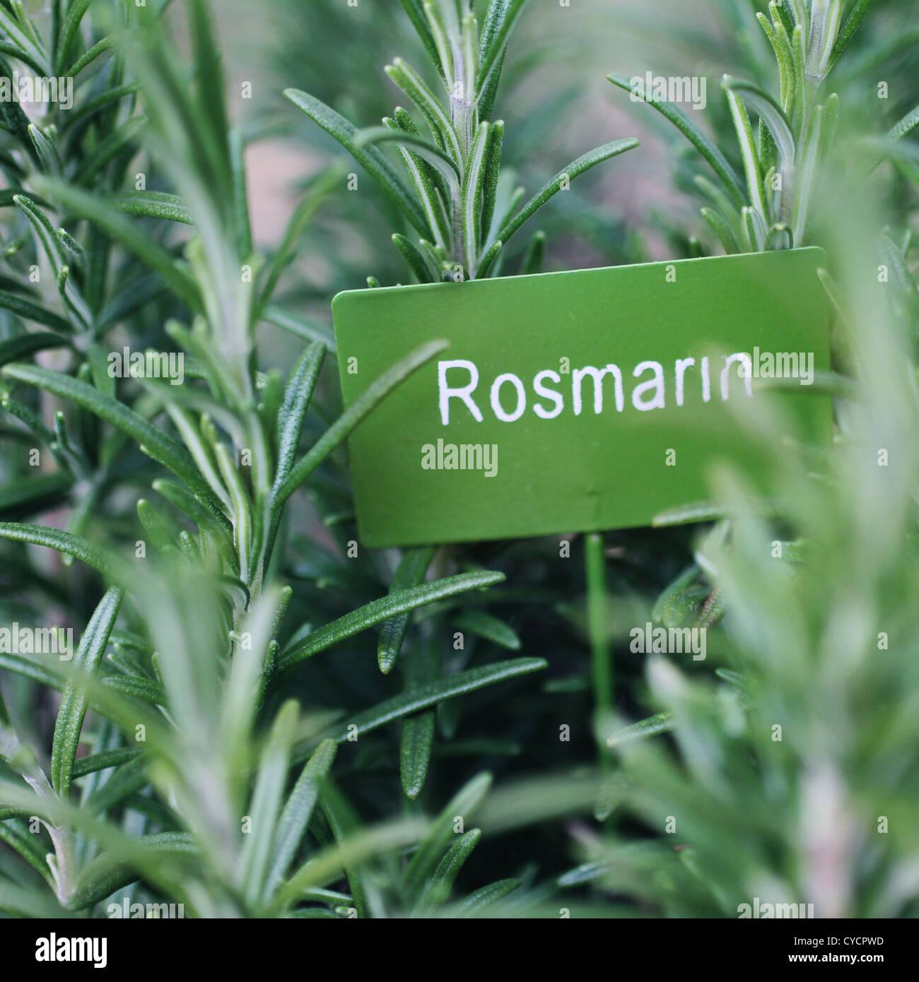 Il rosmarino,le erbe culinarie,giardino di erbe aromatiche Immagini Stock