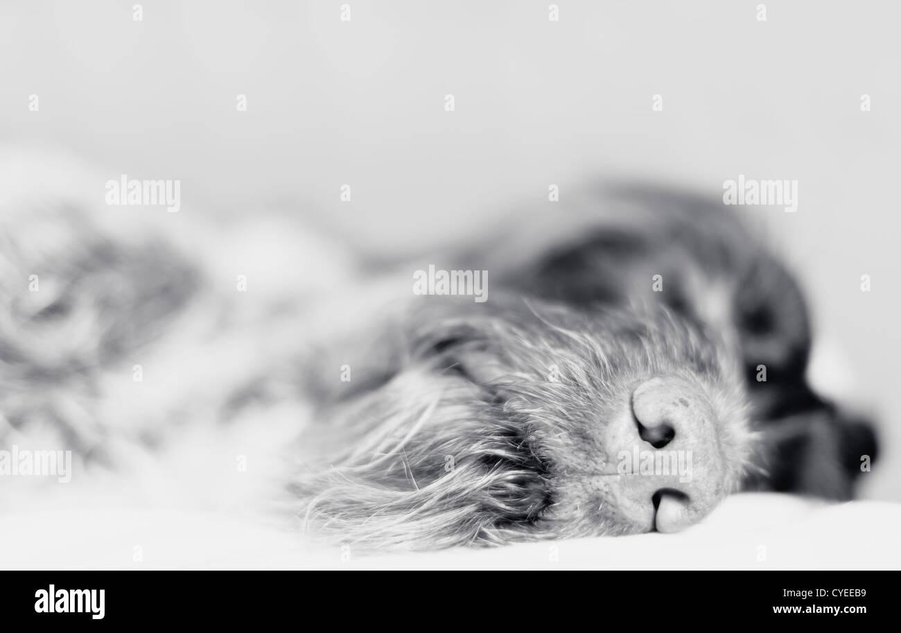 Wire-haired pointer addormentato, concentrarsi sul naso, foto in bianco e nero. Immagini Stock