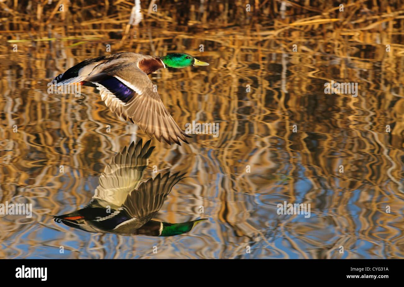 Mallard duck volando a bassa quota sopra l'acqua con la sua riflessione Immagini Stock