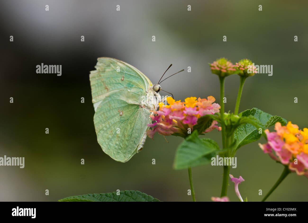 Il Limone emigrante butterfly seduto su un fiore in Hai Phong Vietnam ( Catopsilia Pomona) Immagini Stock