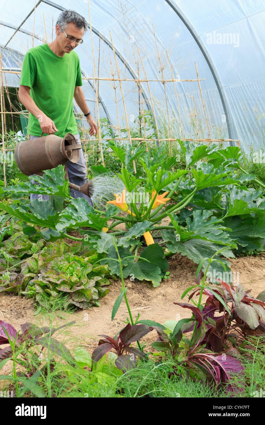Zucchine Di Irrigazione In Un Orto Sotto Un Polytunnel