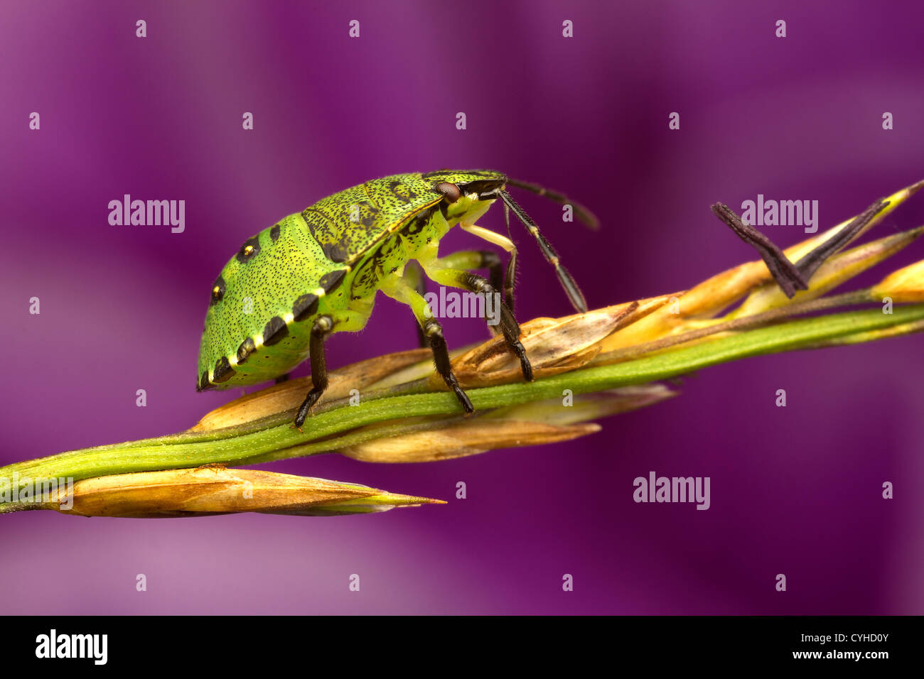 Un bug di protezione (Pentatomoidea) Immagini Stock