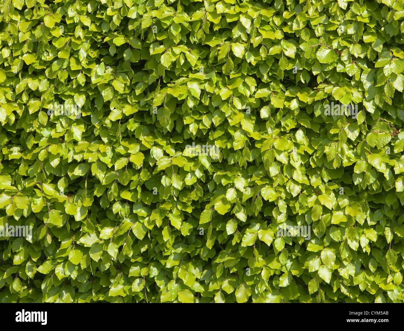 Texture Di Sfondo Di Fresche Foglie Verdi Di Una Siepe Di Faggio In
