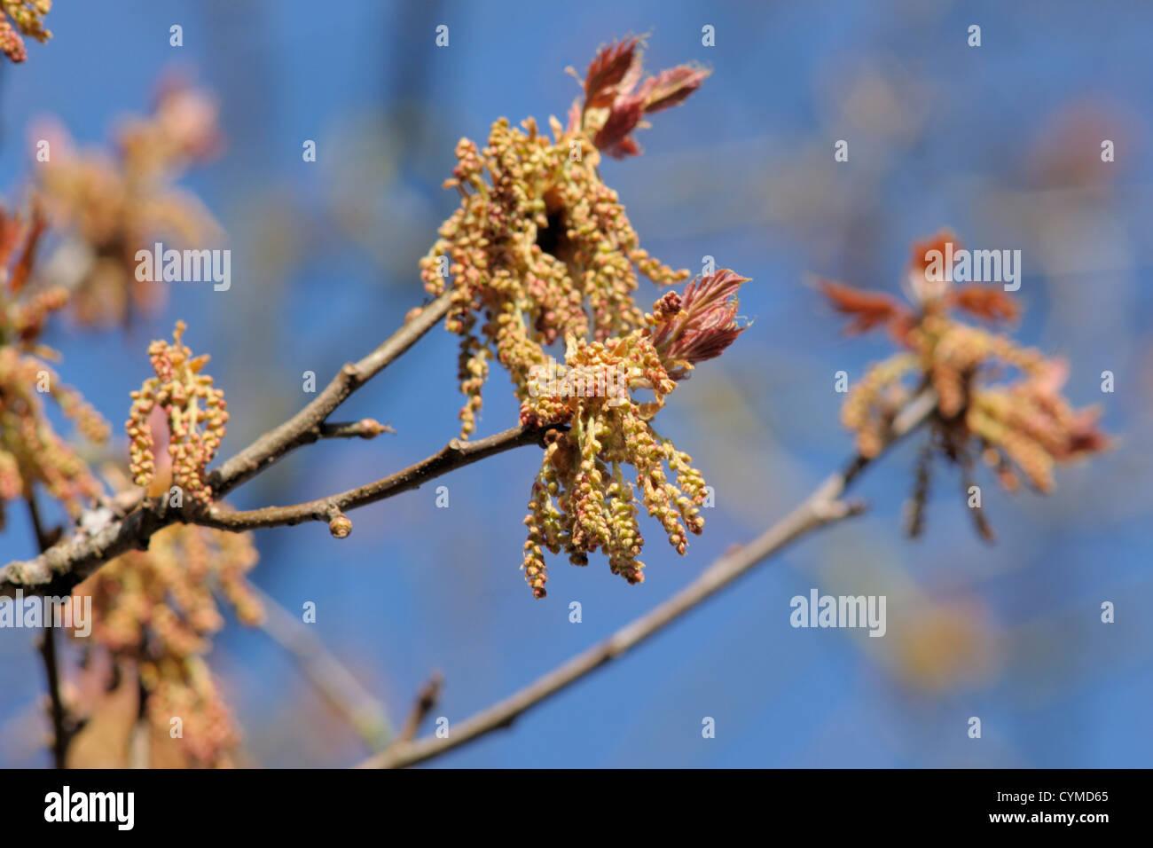 Fiori Quercia.Quercia Rossa Fiori Quercus Rubra Foto Immagine Stock 51465853
