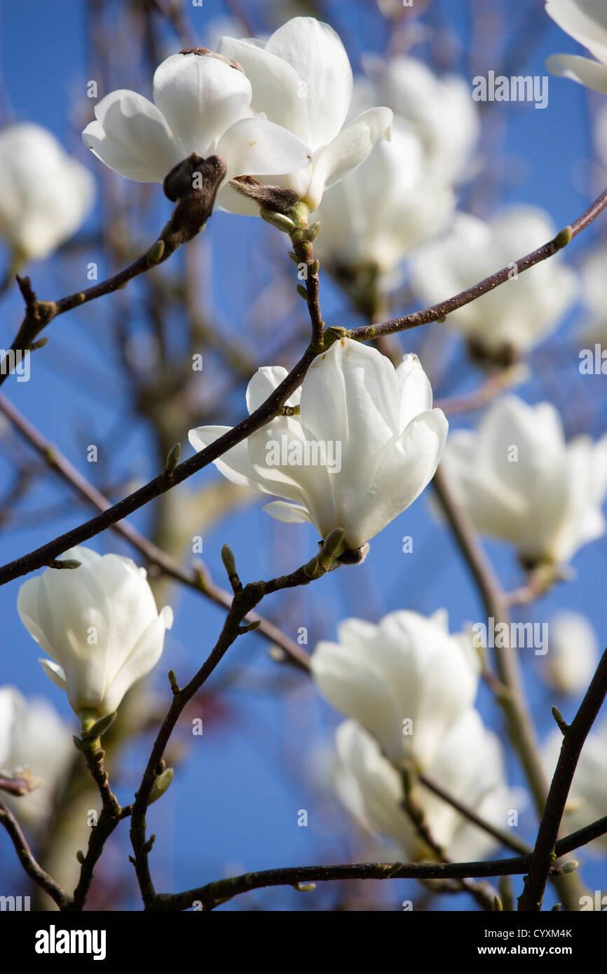 Fiori Bianchi Albero.Piante Alberi Magnolia Soulangeana Alba Superba Abbondanti