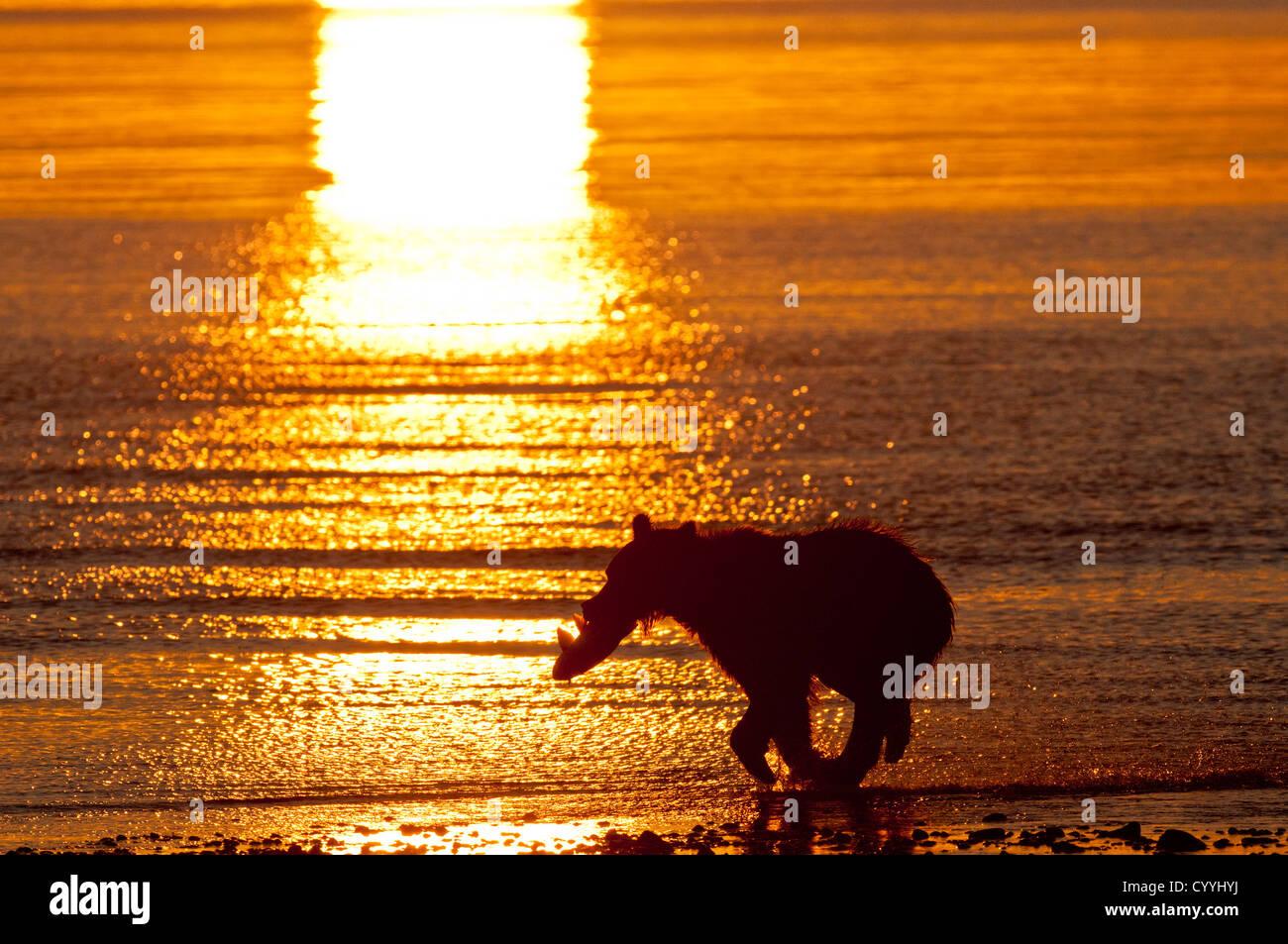 Orso bruno in esecuzione con Salmone al sunrise; il parco nazionale del lago Clark, ak Immagini Stock