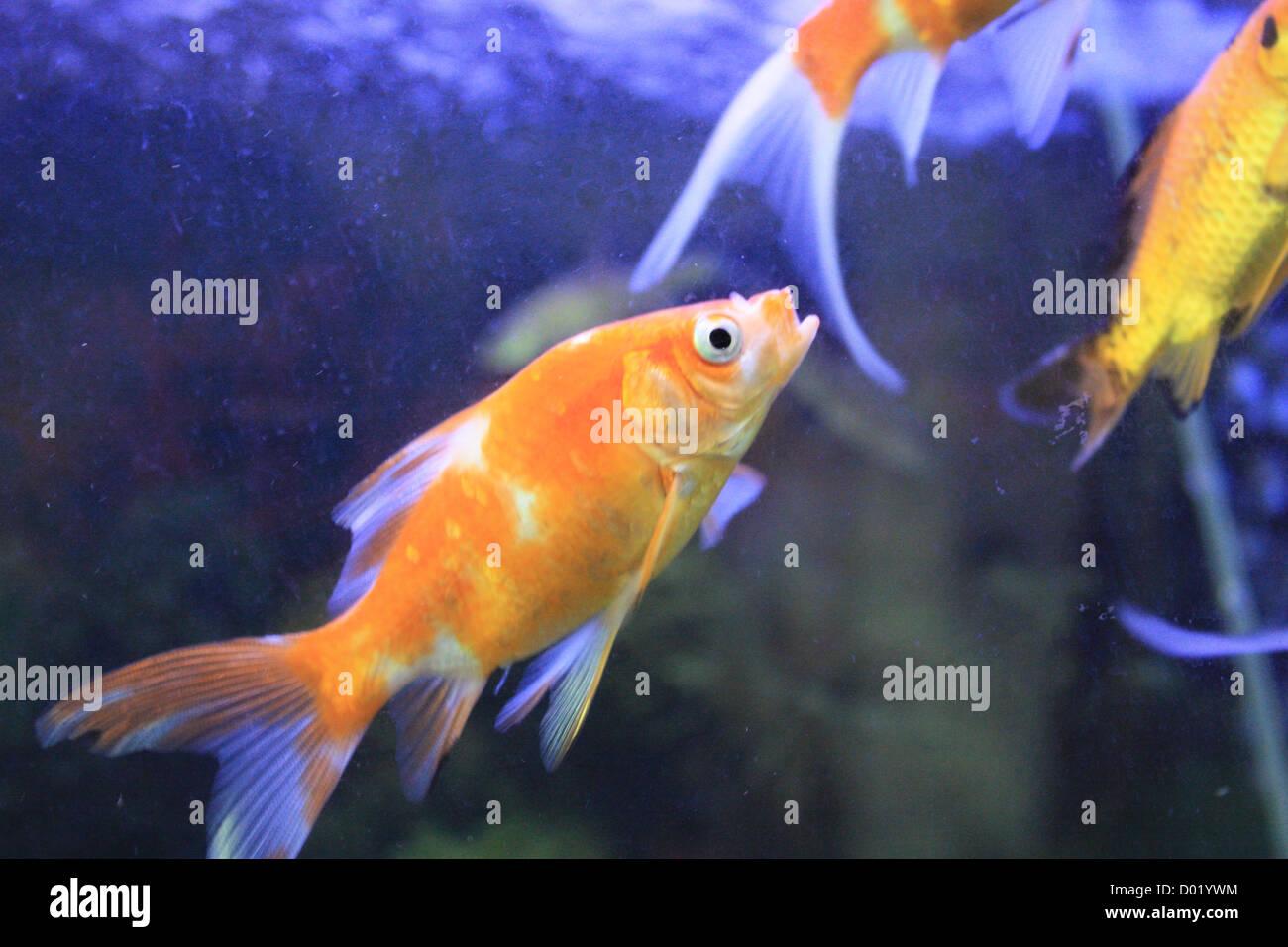 Pesci di acqua dolce pesci d 39 acquario pesci tropicali for Pesce pulitore acqua dolce