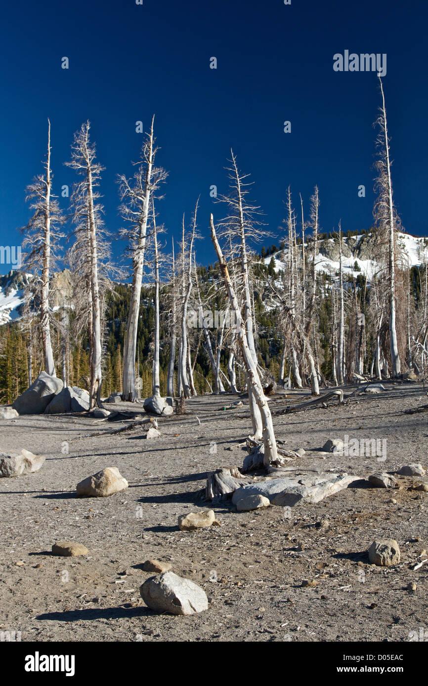 Alberi avvelenato dal biossido di carbonio a ferro di cavallo lago, nei pressi di Mammoth Lakes, California. Immagini Stock