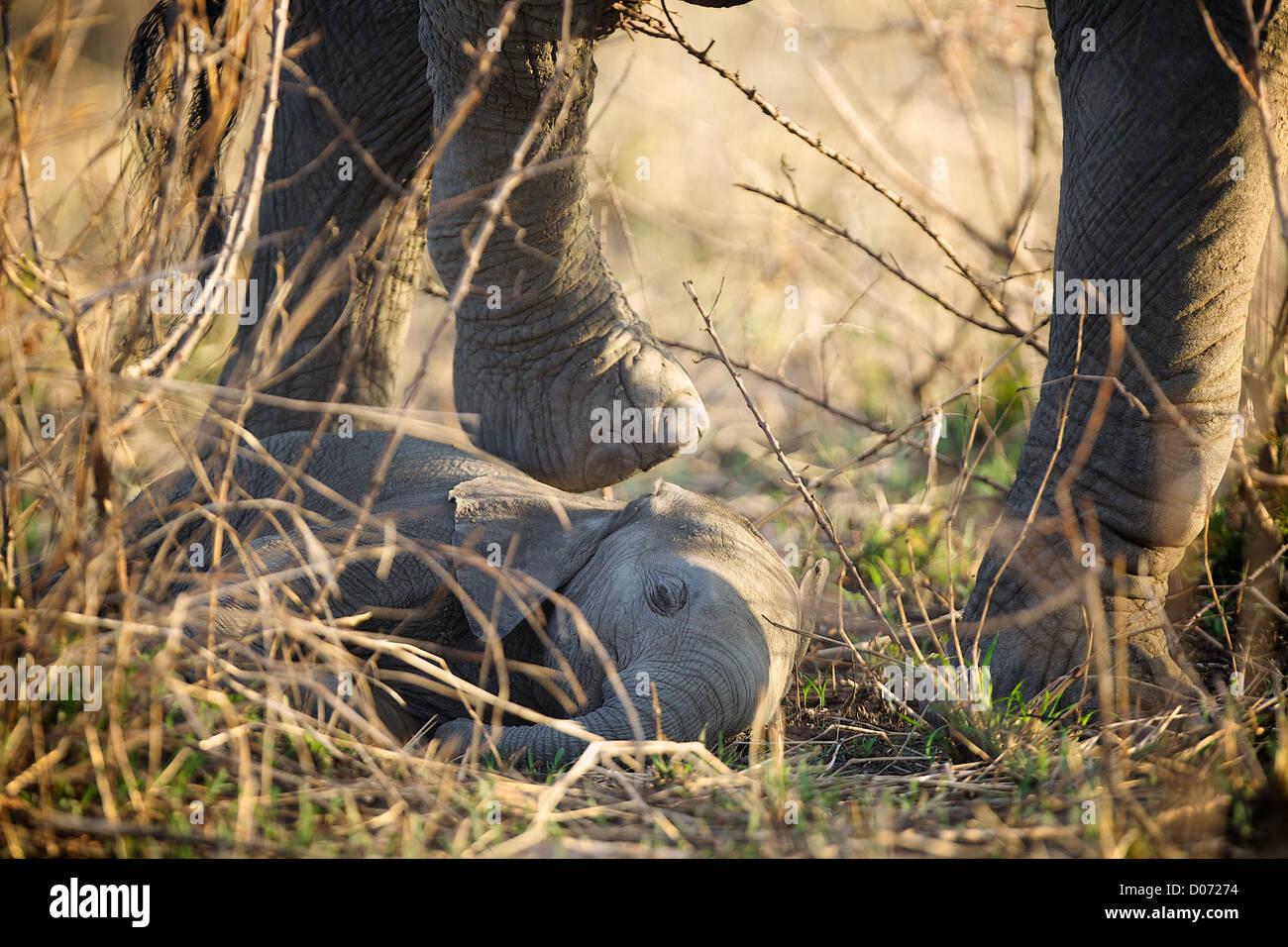 Madre passi oltre il Baby Elefante africano Loxodonta africana . Mikumi Game Reserve . Sud della Tanzania. Africa Immagini Stock