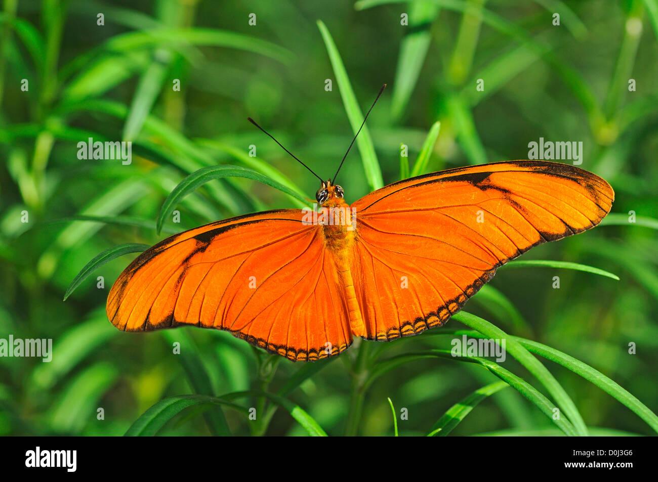 Farfalle tropicali Heliconian Julia (Dryas iulia), Nymphalidae Immagini Stock