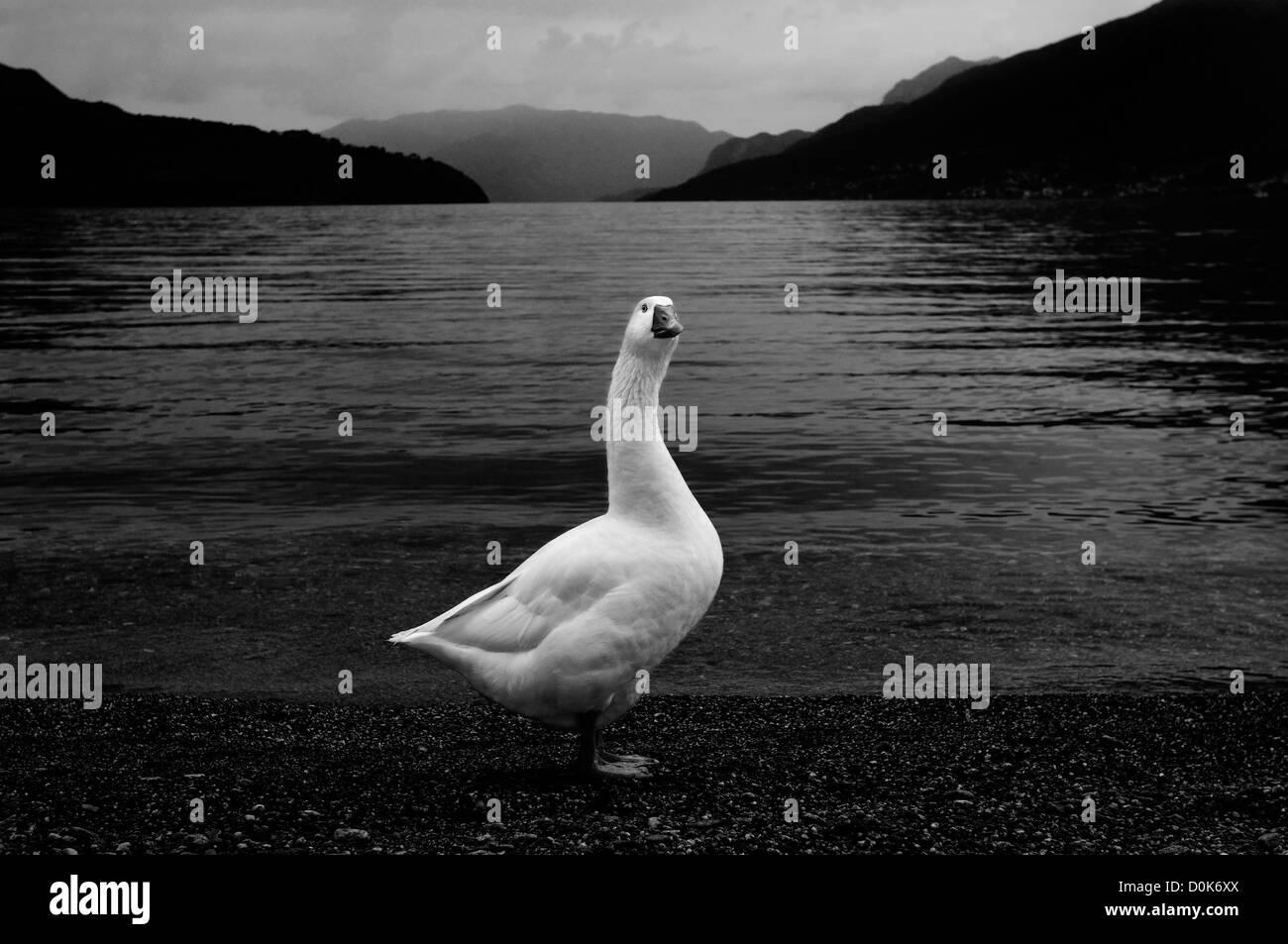Swan, Lago di Como Immagini Stock