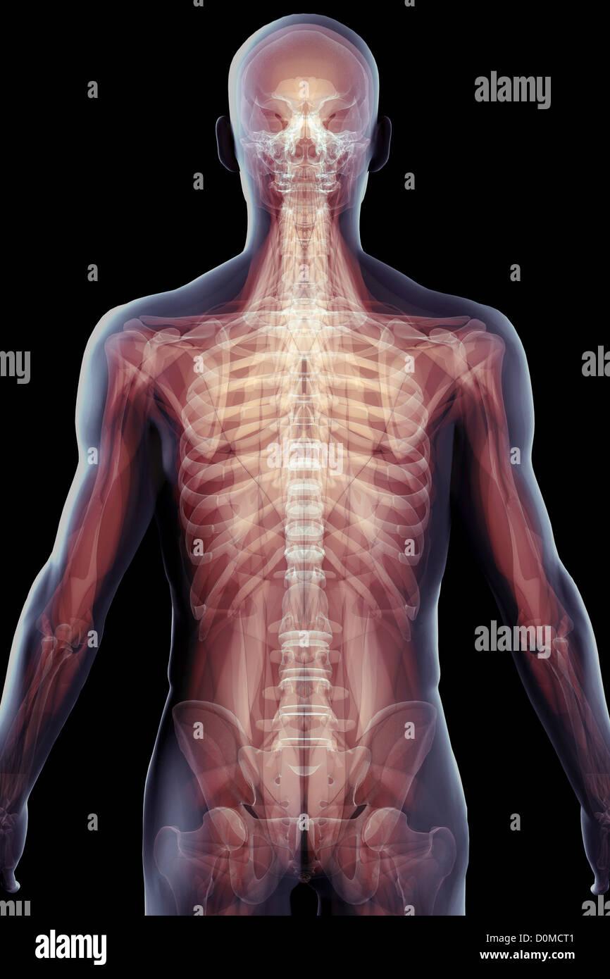 Immagini a più livelli che mostra la complessa struttura scheletrica di un essere umano. Immagini Stock