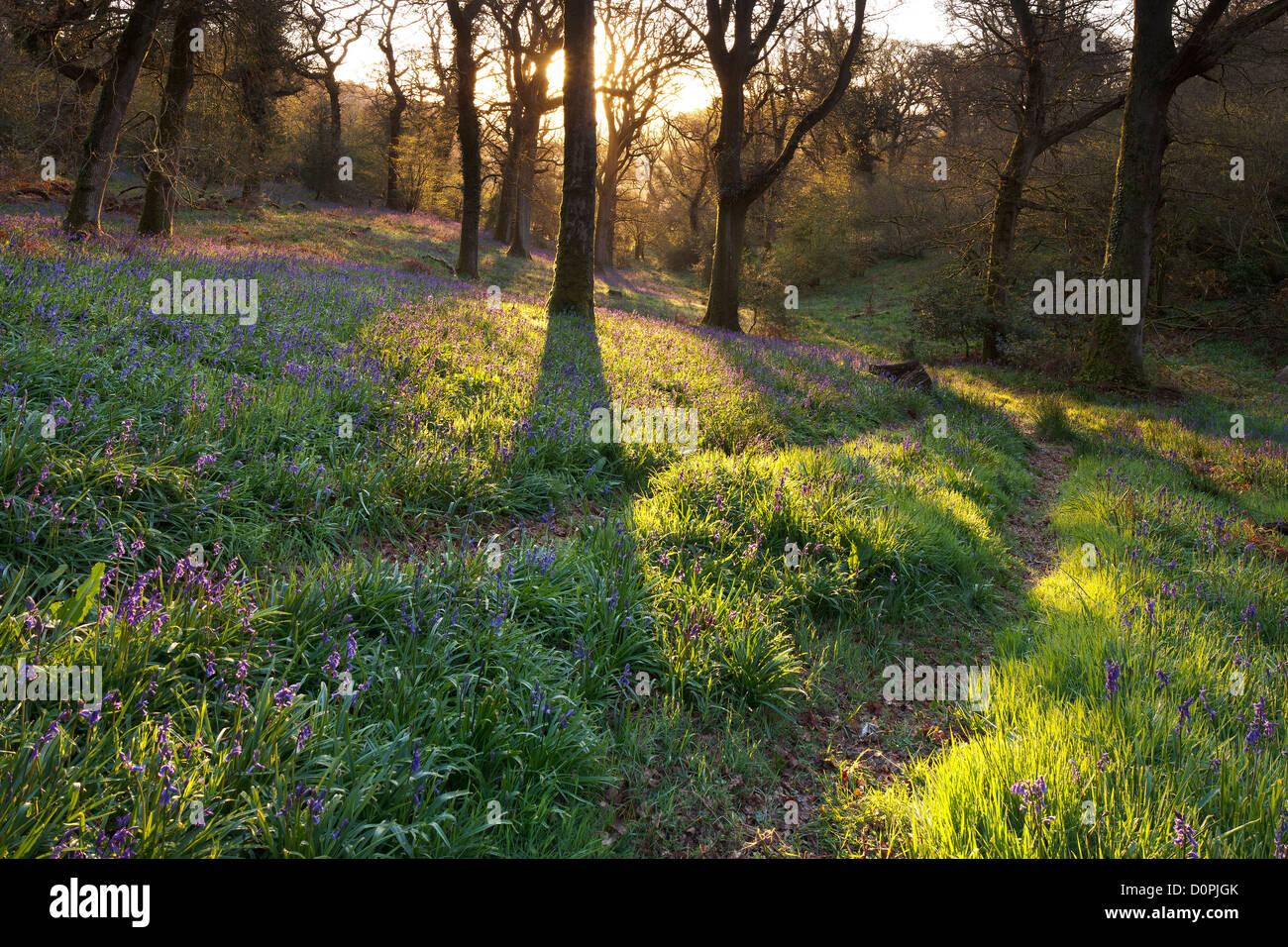 Bluebell boschi, Dorset, England, Regno Unito Immagini Stock