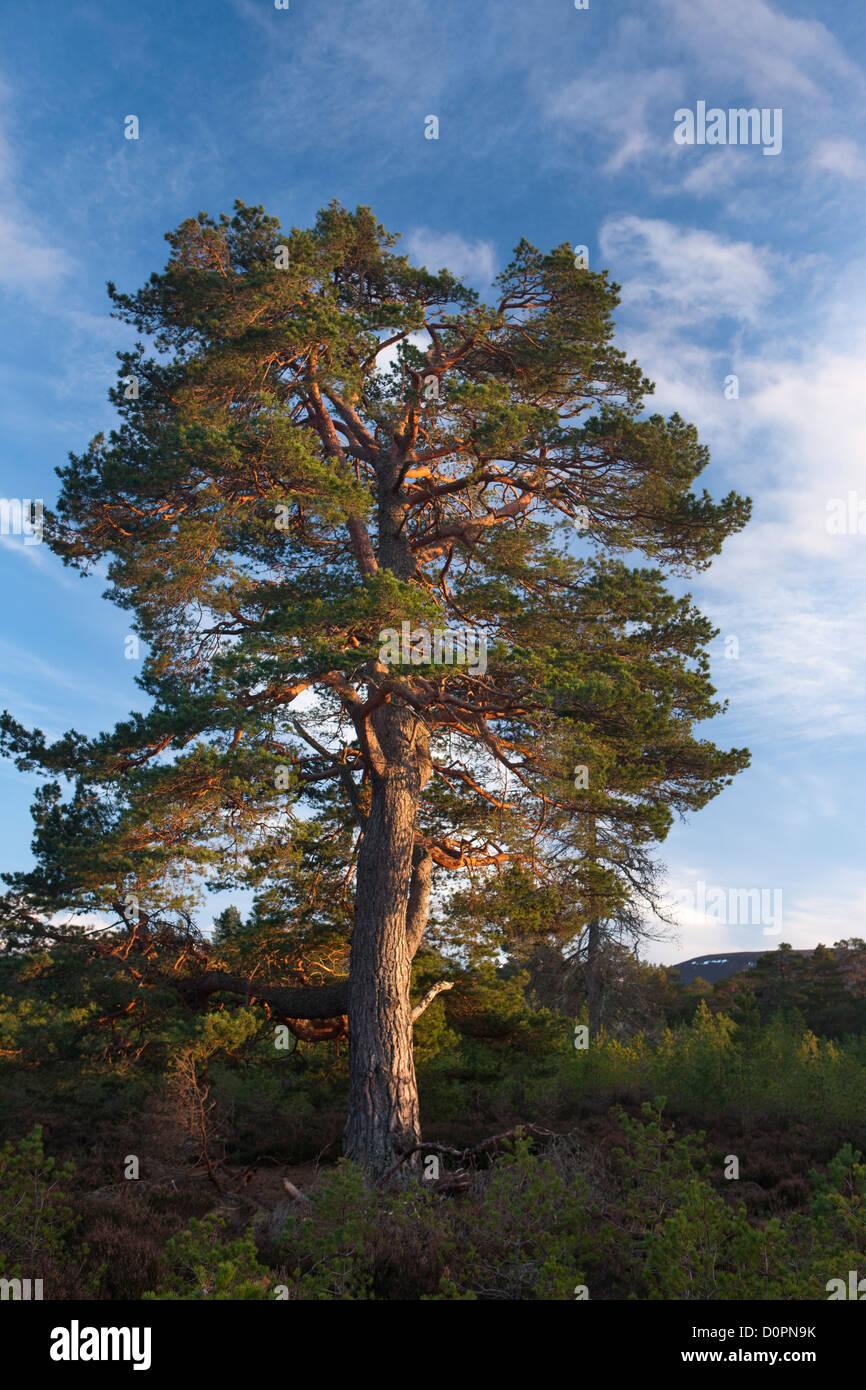 Un Caledonian Pine Tree nella foresta Rothiemurchus, Cairngorms National Park, Scotland, Regno Unito Immagini Stock