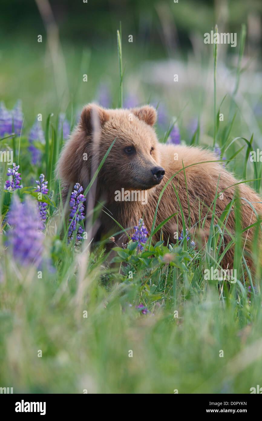 Un marrone o Grizzly Bear Cub, il Parco Nazionale del Lago Clark, Alaska. Immagini Stock