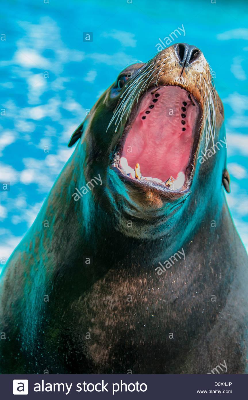 Il leone marino della California, Zalophus californianus, con la bocca aperta, Bronx Zoo di New York, Stati Uniti Immagini Stock