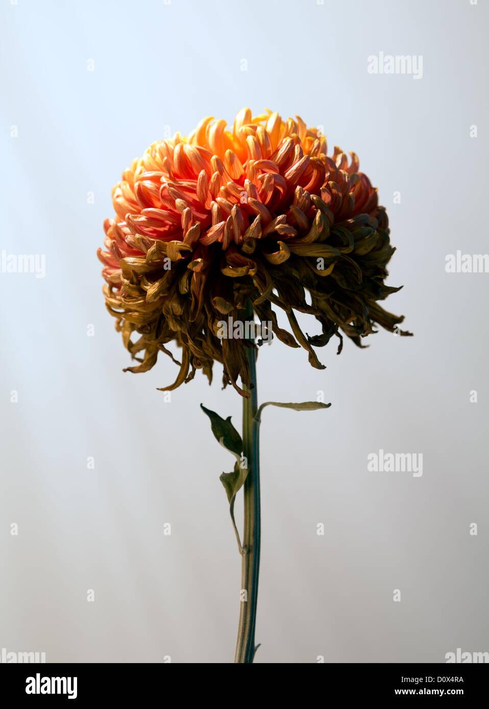 Chrysanthemum immagini chrysanthemum fotos stock alamy - Immagine di terra a colori ...