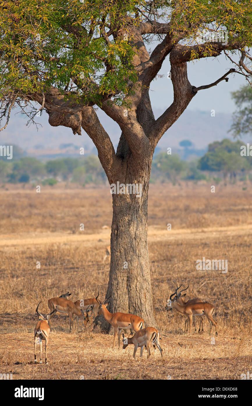 Impala selvaggio Immagini Stock